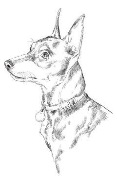 Miniature Pinscher vector hand drawing portrait