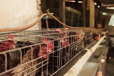 Eggs chicken farm in Brazil