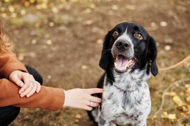 Spaniel dog with long ears walks in the autumn Park and looks at the owner. Dog on nature, Russian Spaniel.