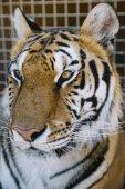 Der Tiger hautnah