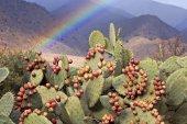 Fügekaktusz gyümölcsök és a rainbow, a hegyekben Dél-Marokkó