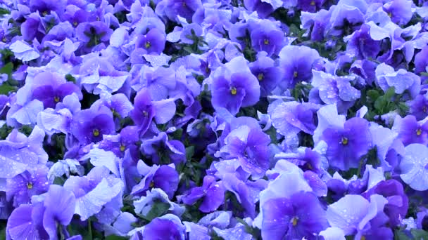 Blue Flower Pansies On A Flower Bed With Raindrops In The Wind