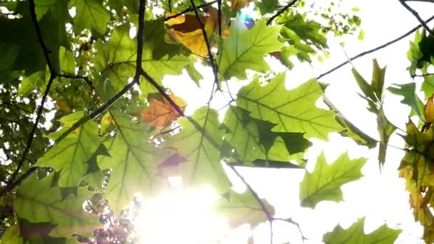 Slunce prosvítající pádu listy