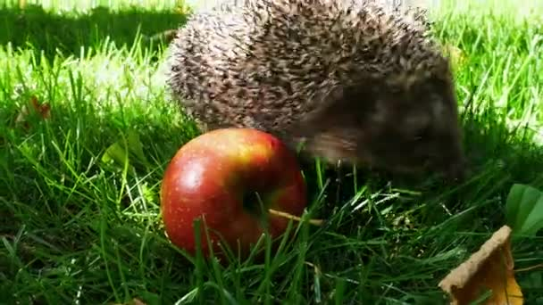 Hedgehog With Red Ripe Apple in Green Grass
