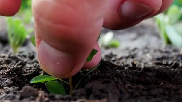 Výsadba mladých zelených rostlin v půdě