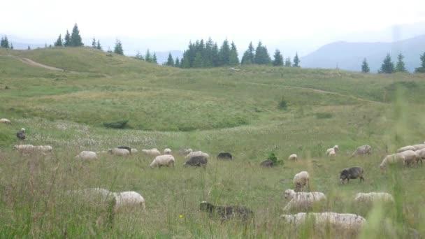 Stádo ovcí pasoucí se na louce pod širým nebem