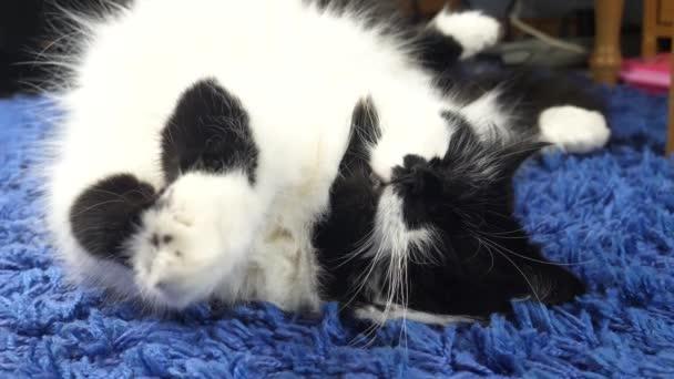 Legrační bílá černá kočka doma