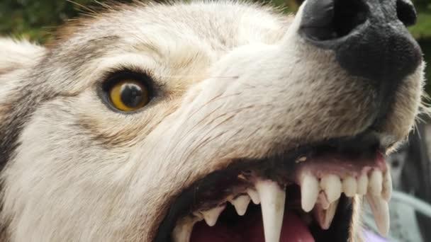 Angry Aggressive Stuffed Wolf with Sharp Teeth