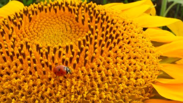 Beruška na žlutých slunečnicích