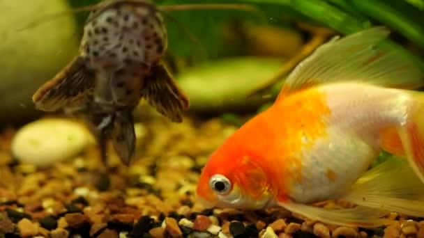 Gyönyörű aranyhal úszik akváriumban vagy akváriumban