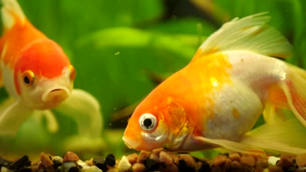 Zlaté rybky plavání ve sladkovodním akváriu
