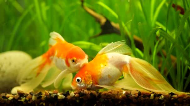 Aranyhal úszik otthon Akvárium