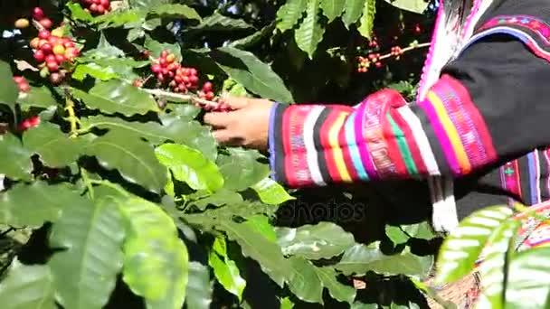 Akha hill výdeje arabica coffee bean v červené a zelené na jeho větev stromu na plantáži, káva proces