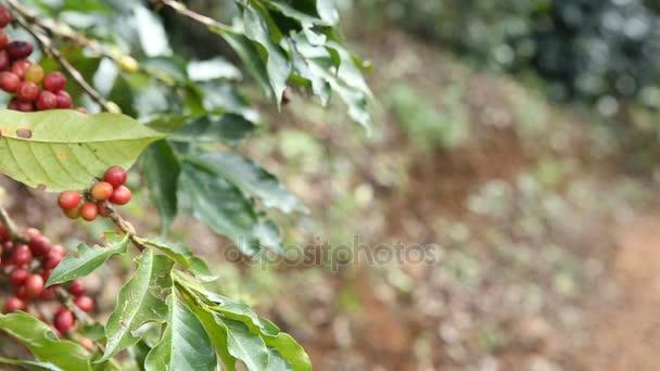 kávová zrna na plantáži, pan video