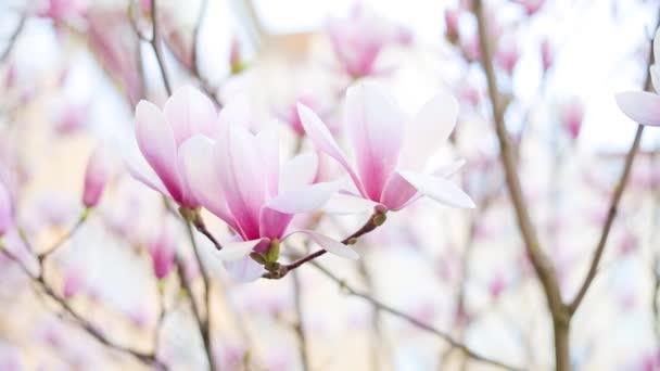 období květu Magnolie stromů v parku nebo Botanická zahrada. Krása přírody
