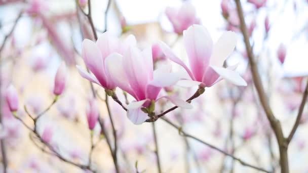 období květu Magnolie stromů v parku nebo Botanická zahrada. Krása přírody.