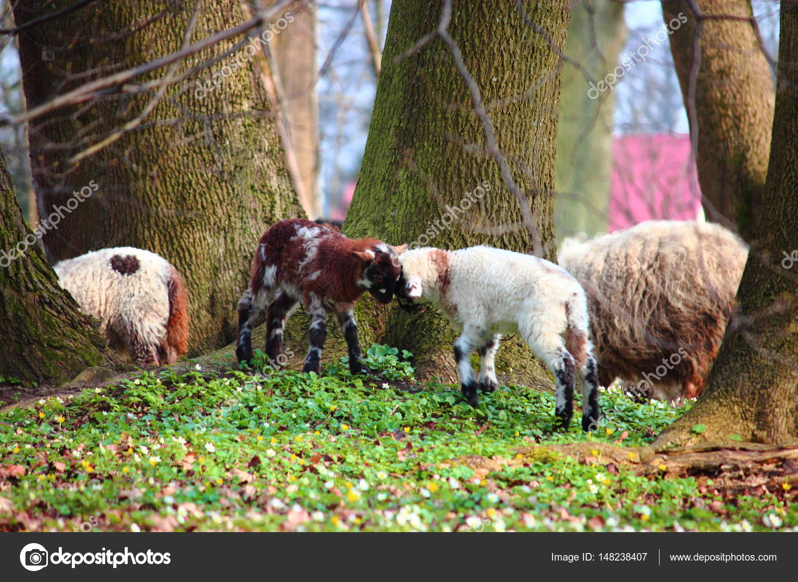 Lambs Are Butting On A Spring Meadow Photo By Lenakorzh