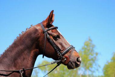 portrait of a racehorse
