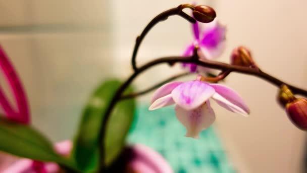 4K Orchid blooms, timelaps