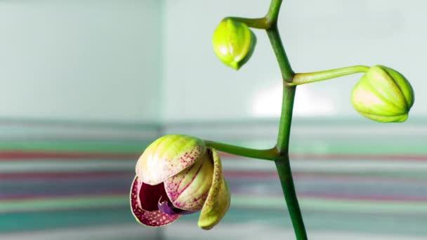 4 k detailním květ orchideje květ vyrůstající time-lapse