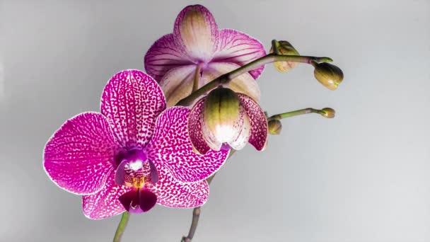 Closeup květ orchideje květ vyrůstající time-lapse
