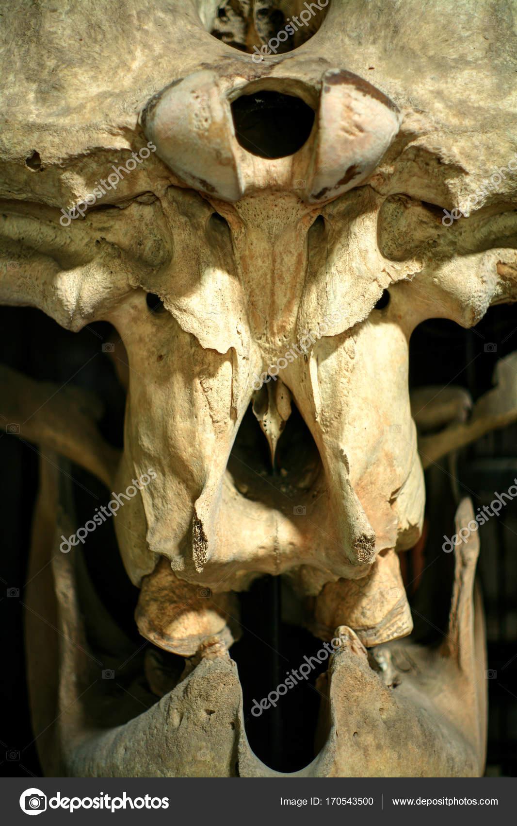 Cráneo de animal / elefante cráneo — Foto de stock © nillapat@yahoo ...