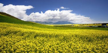 Yellow rape flowers in the valley of flowers