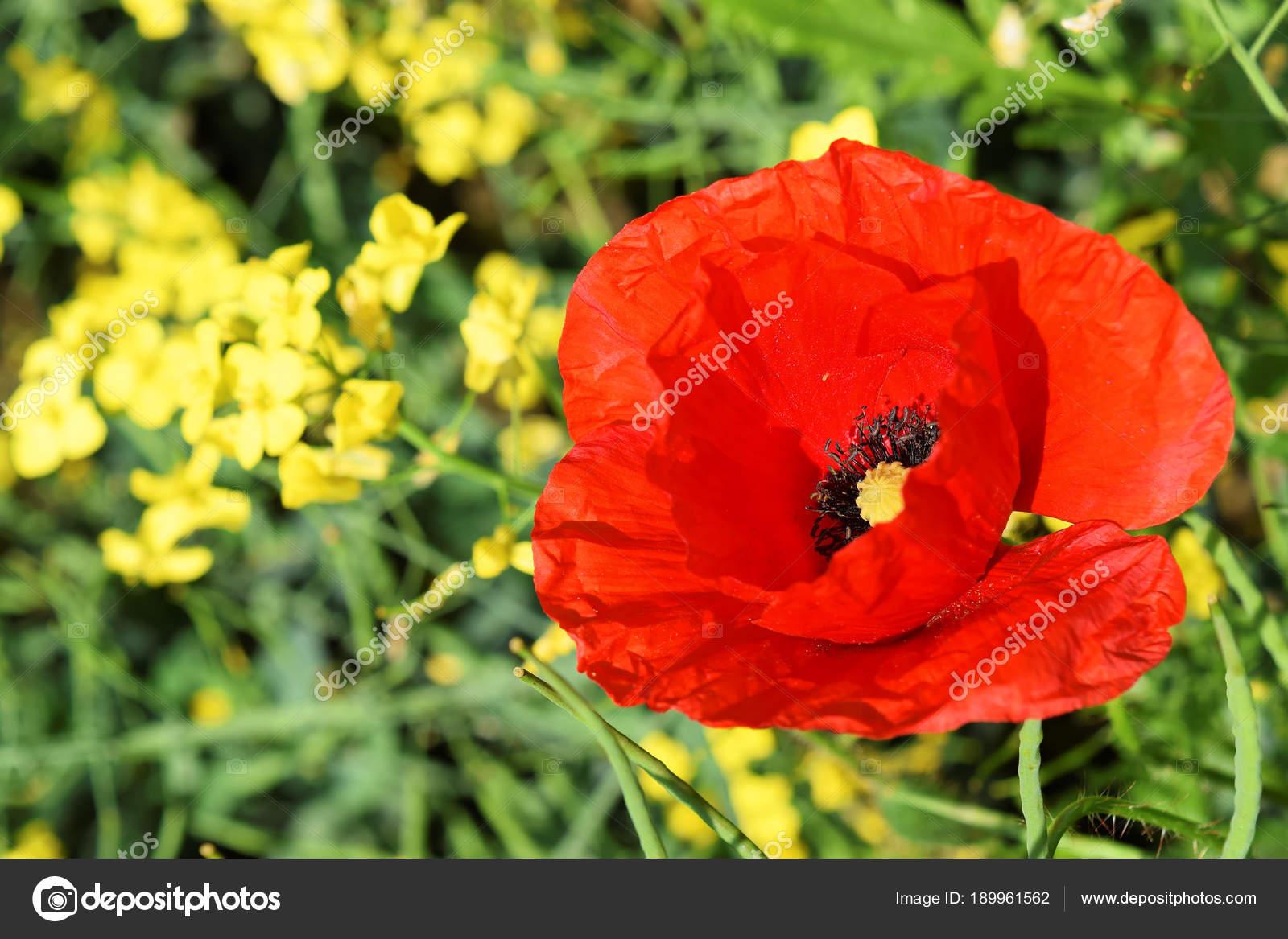Poppy flower symbol anzac day stock photo zvonce 189961562 poppy flower symbol anzac day stock photo mightylinksfo