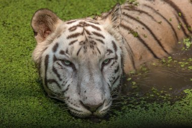 White Bengal Tiger close up head shot swimming in swamp water.