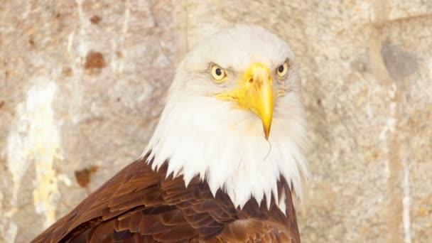 Nahaufnahme von Usa Weißkopfseeadler, Raubvogel in seinem Nest nach Jagd auf Berge Hintergrund
