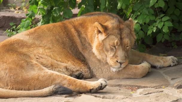 Zblízka velký chlupatý unavený muž Lev král zvířat ležící po jídle na skalách v národním parku