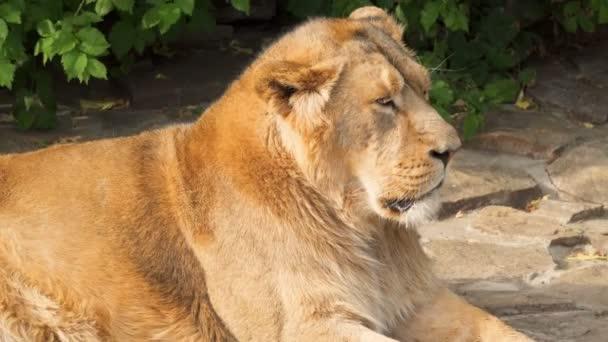 Nagy szőrös fáradt hím Oroszlán király vadállatok után étkezés, a sziklák, a nemzeti parkban fekvő közelről