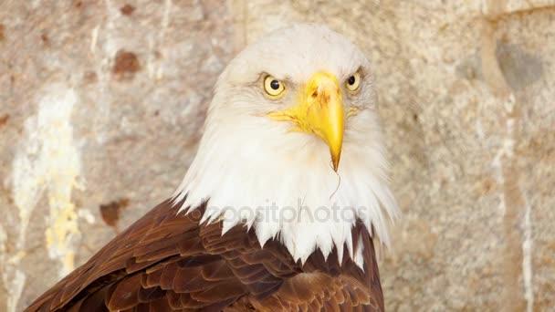 Nahaufnahme eines amerikanischen Weißkopfseeadlers, Greifvogel in seinem Nest nach der Jagd auf die Berge