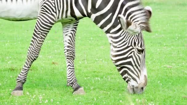 Zár-megjelöl-ból afrikai szavanna zebra. Zebra zöld füvet eszik a nemzeti parkban. Vadon élő állatok szabadban
