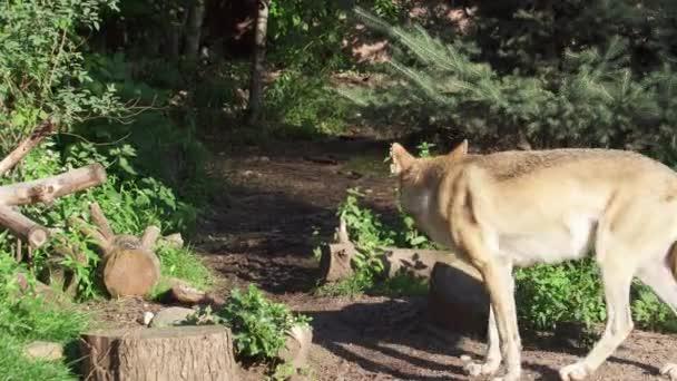 Két vad szürke farkasok futó zöld erdőben. Szőrös canis lupus farkasok vadászat-nemzeti park