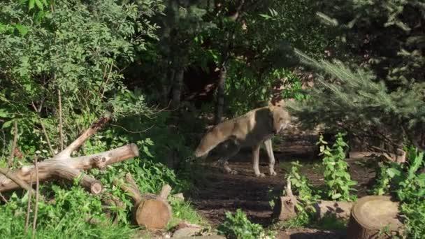 Éhes vad szürke Farkas futó zöld erdőben. Szőrös canis lupus Farkas vadászat, Bokros, nemzeti park