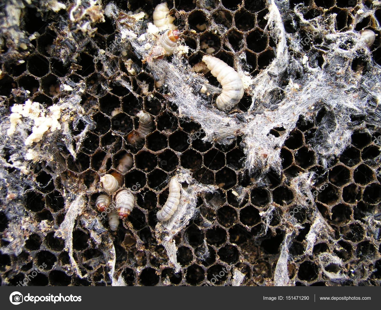 Larvas de polilla de la cera en un nido de abeja infectada. La ...