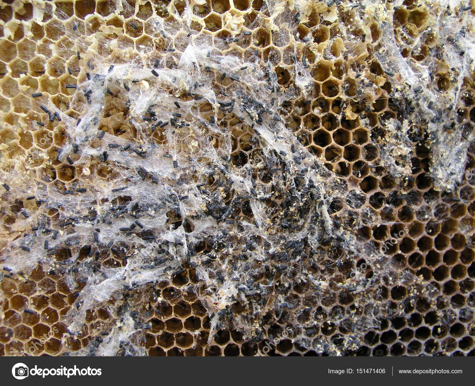 Nem csak az időjárás okoz gondot: élősködők pusztítják a méheket