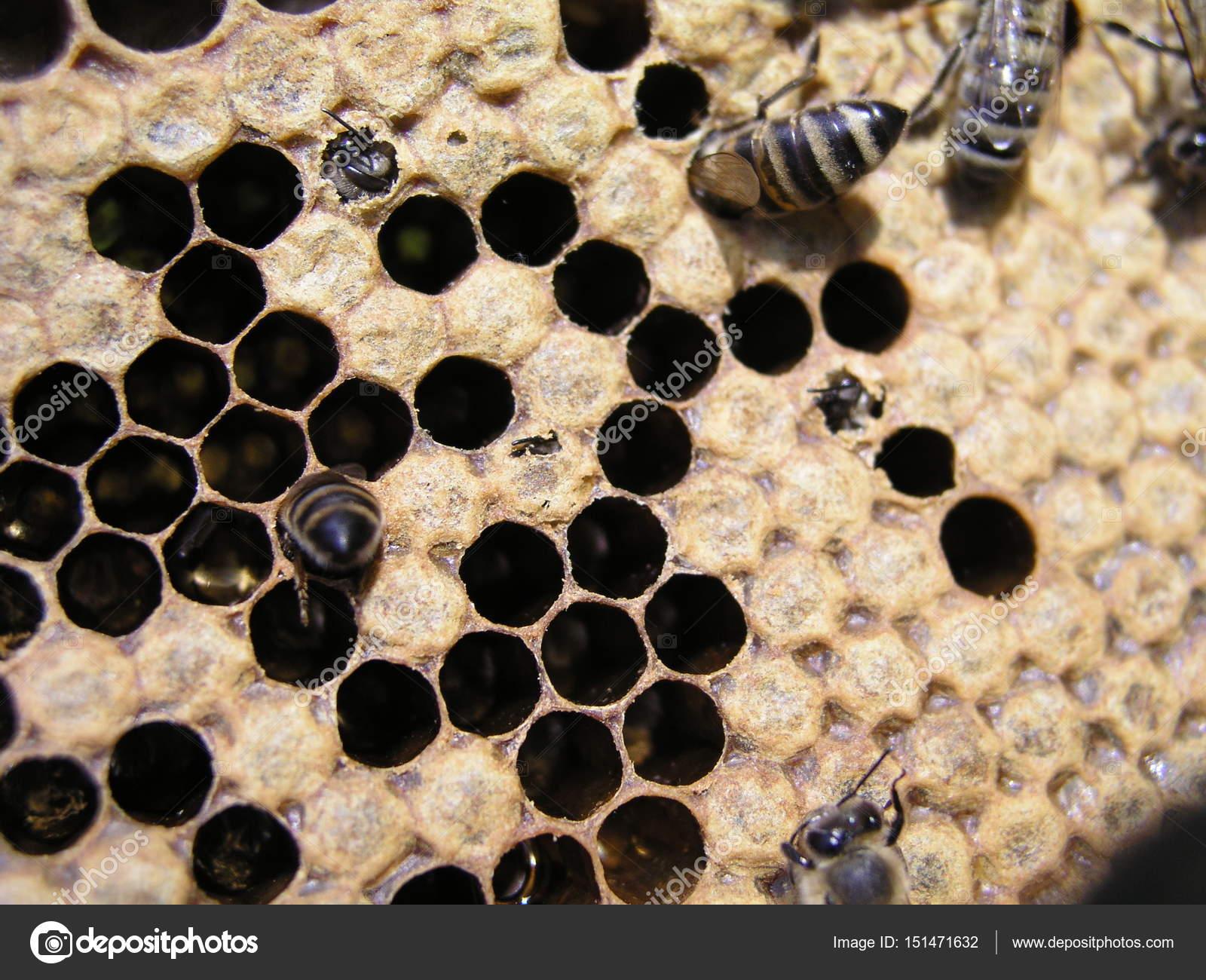 Bienenvolk auf die Lager auf dem Rahmen mit einer versiegelten Brut ...