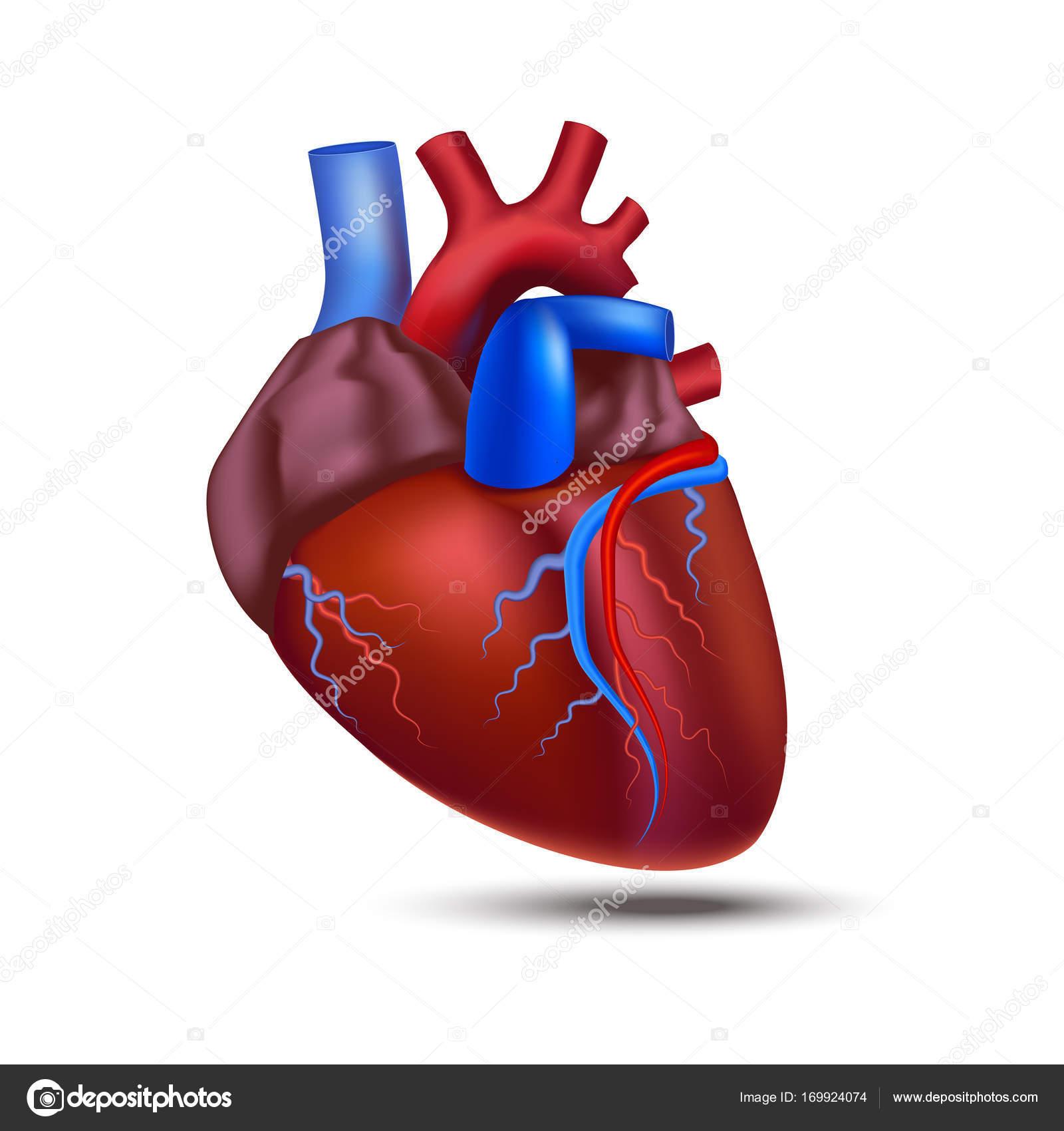 Realista corazón 3d detallada de la anatomía humana. Vector de ...