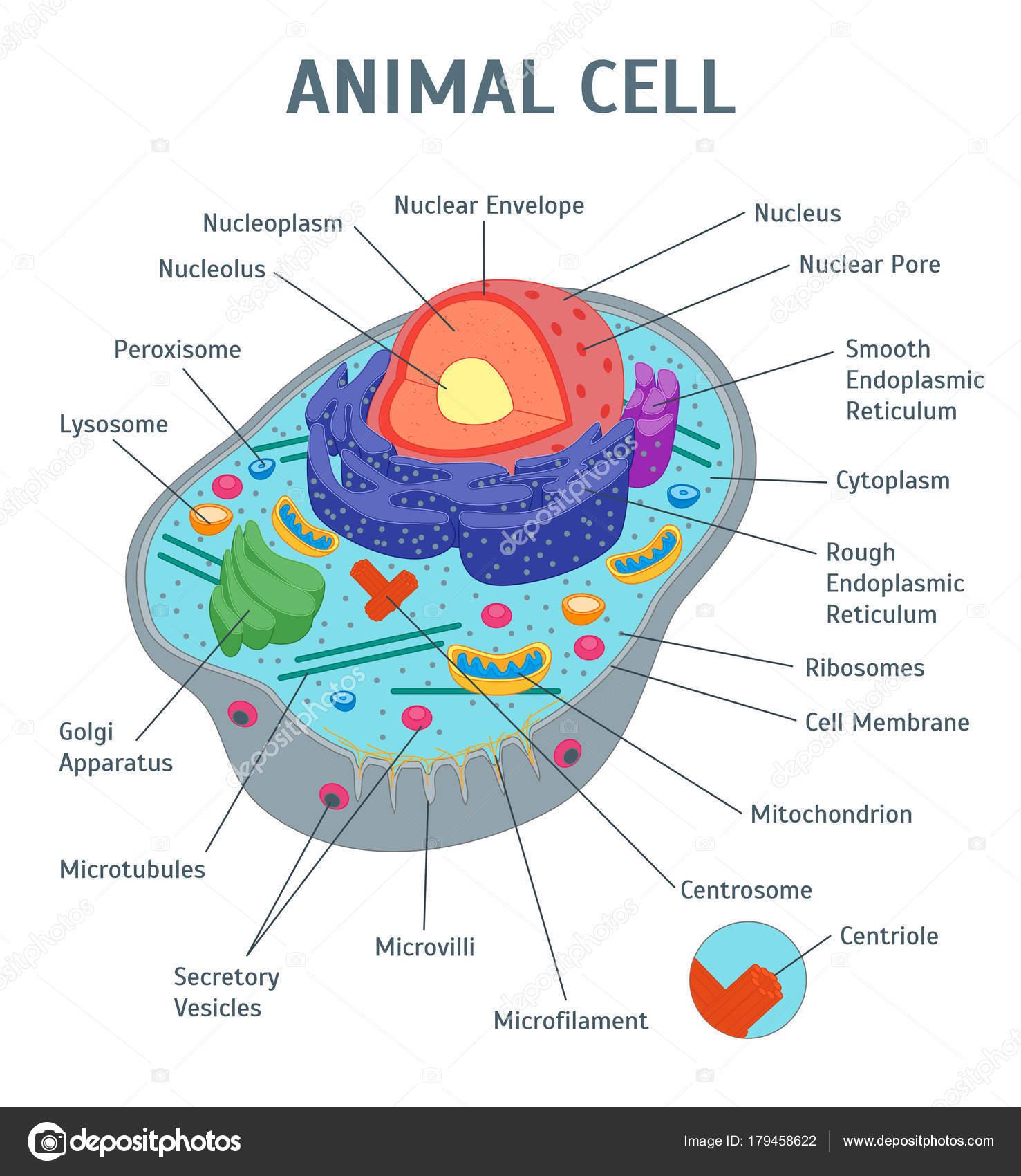 Cartoon Animal Cell Anatomy Banner Card Poster Vector Stock