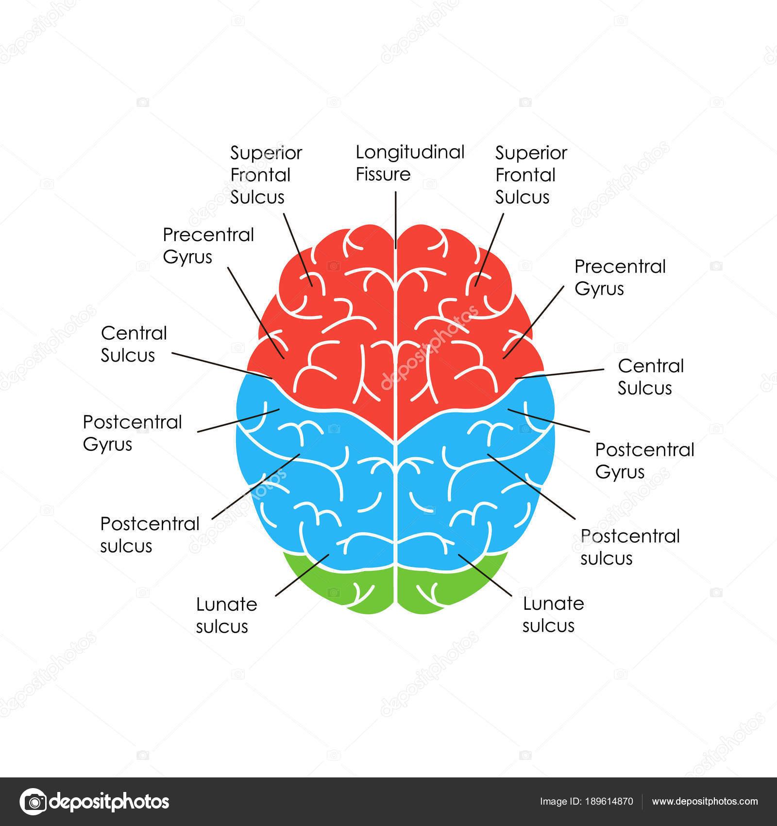 Human Brain Anatomy Card Poster. Vector — Stock Vector © bigmouse ...