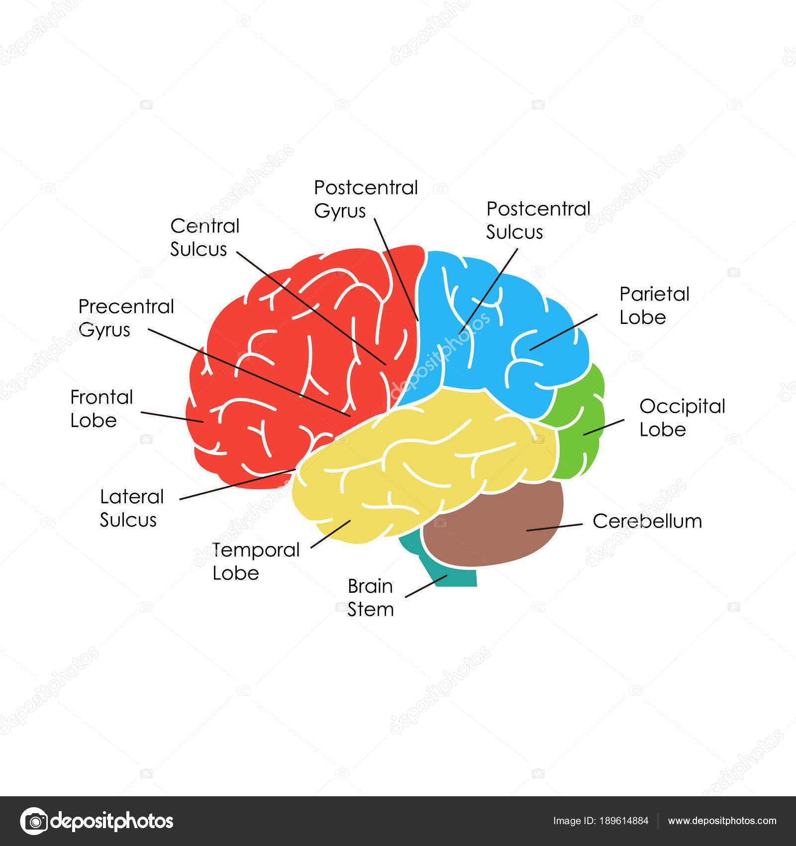 Menschliche Gehirn Anatomie Karte Poster. Vektor — Stockvektor ...