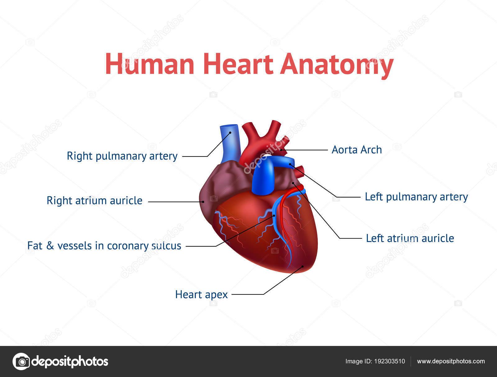 Großzügig Anatomie Und Physiologie 2 Online Klasse Ideen ...