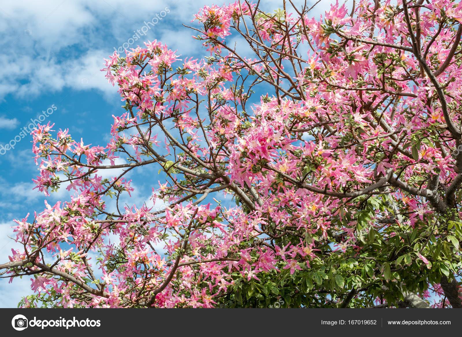 Rosa ceiba speciosa fiori che sbocciano in okinawa foto for Fiori che sbocciano
