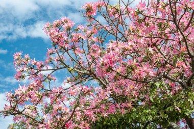 Pink ceiba speciosa flowers blooming in Okinawa