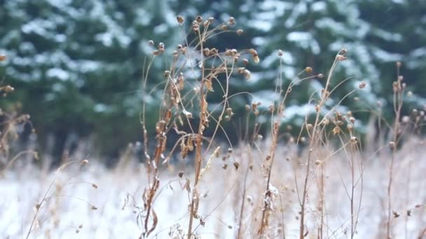 Dry grass on the background of snowy forest. Snowfall in the forest