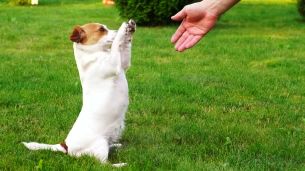 Cute puppy Jack Russell gives the owner of two paws