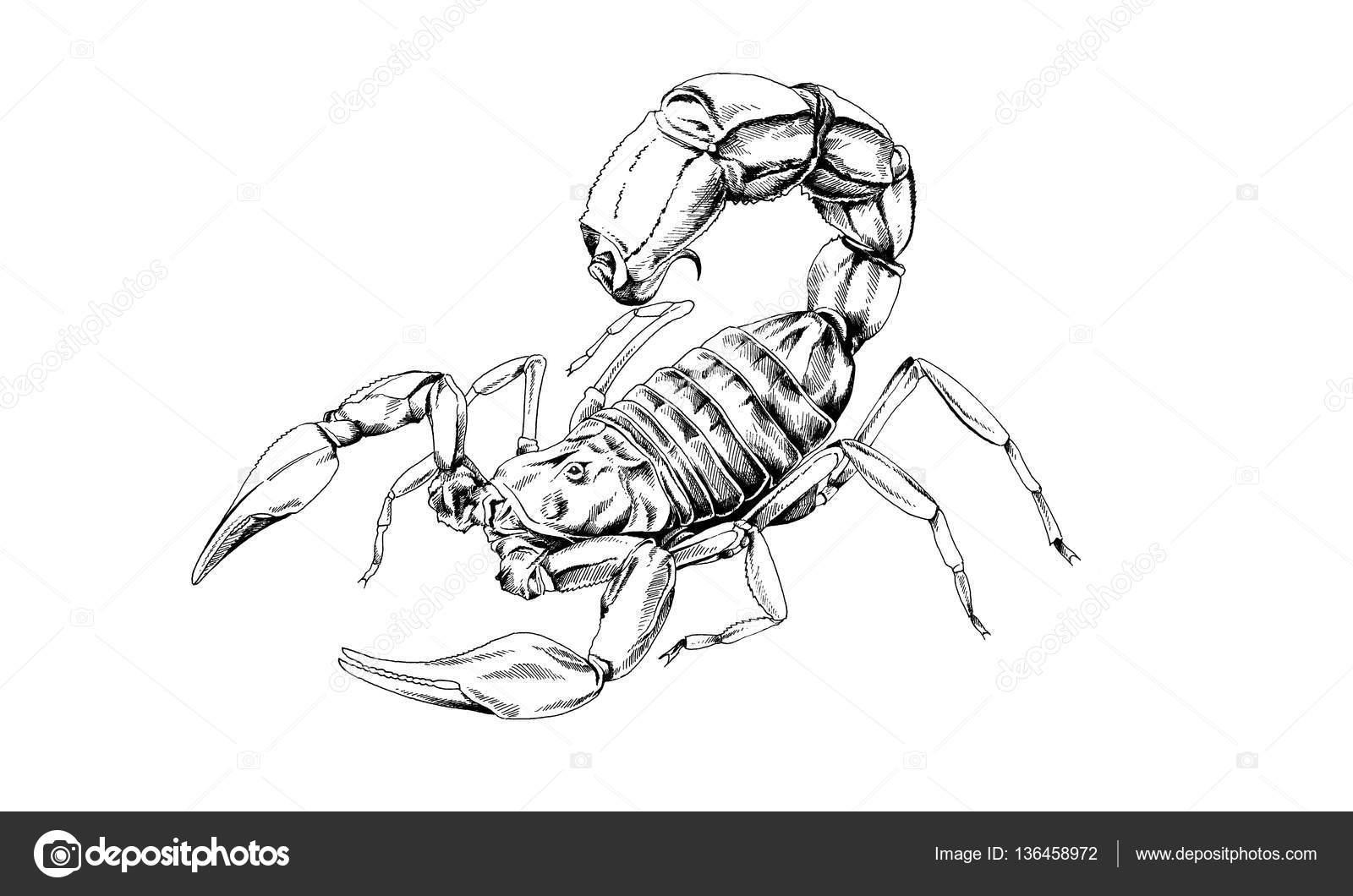 Scorpion Ist In Tinte Tattoo Gezeichnet Stockfoto Evgo1977
