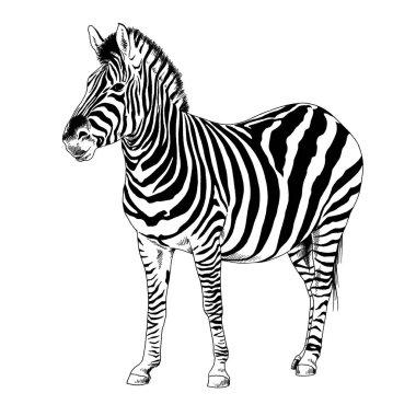 Zebra drawn with ink